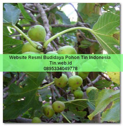 Bibit Buah Tin Jakarta pohon buah tin conadria buah tin pohon tin jual bibit buah tin