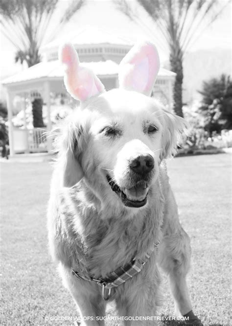 easter breaks with dogs easter sugar golden woofs
