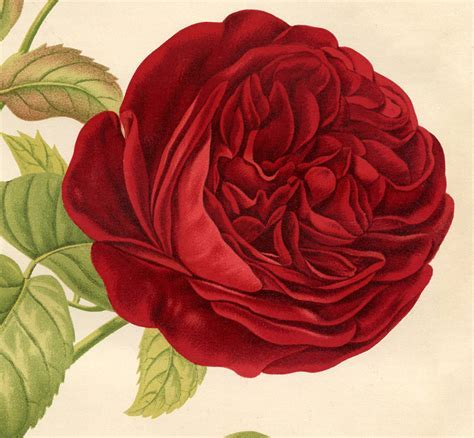 Red Rose Botanical Printable   Best Ever!   The Graphics Fairy