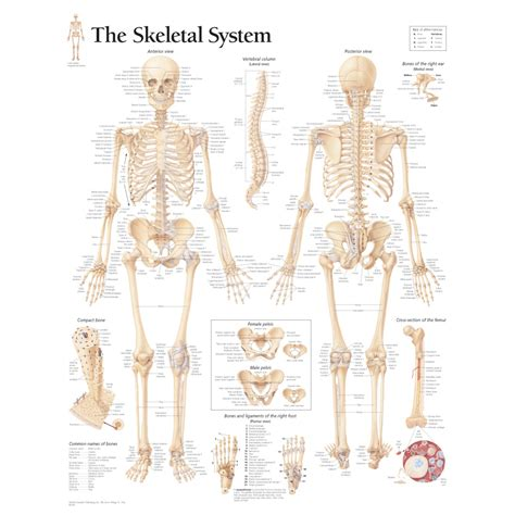 skeletal system labeled human skeletal system anatomical chart