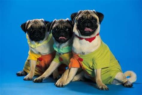 different types of pugs what are some different types of iguanas cuteness