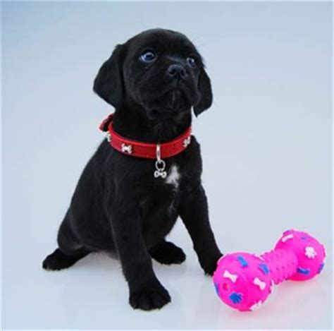 black puggle puppies pin black puggle puppies on