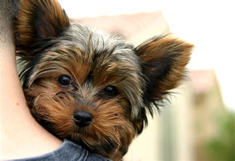 yorkies pictures dogs puppy world puppy pictures