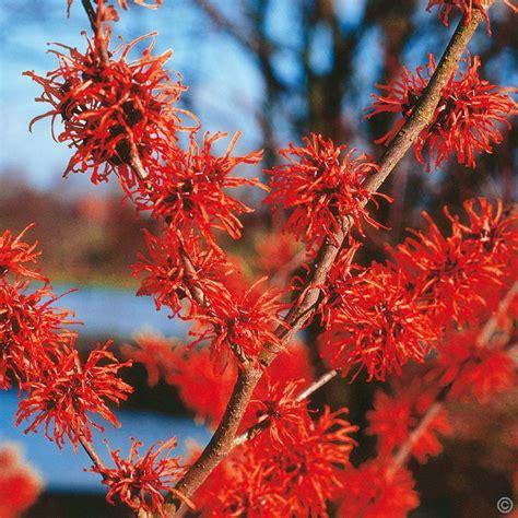 hamamelis x intermedia diane 1 shrub buy online order yours now