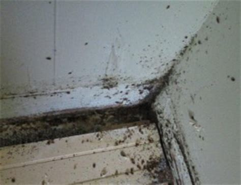 bed bug habitat bed bug facts bed bug finders llc