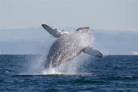 zabijanie wielorybow legalne na grenlandii focuspl