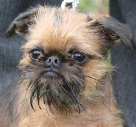 griffon puppies for sale for sale griffon bruxellois puppies for sale griffon bruxellois