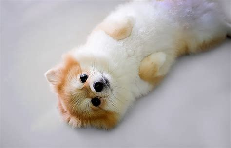 pic of pomeranian post your type and favorite breed