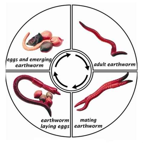 earthworm cycle diagram montessori materials cycle of an earth worm cards