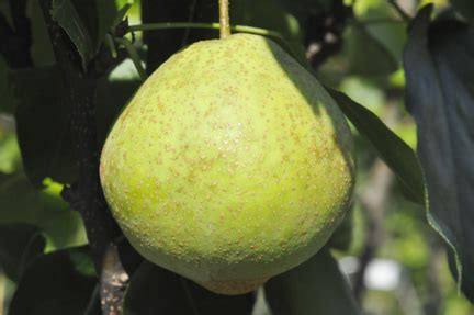 pears asian edible landscaping