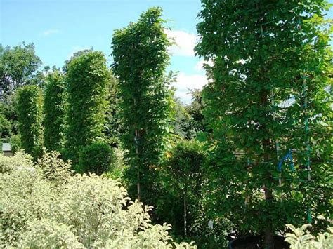 evergreen climbing plants for screening climbing plants best evergreen climbers uk garden centre
