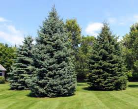 Landscaping Appleton Wi by Gallery For Gt Evergreen Trees