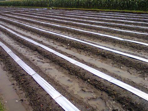Bibit Bawang Merah Musim Hujan cara menanam budidaya bawang merah di musim penghujan