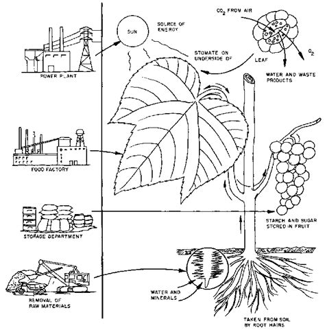 Photosynthesis Coloring Worksheet Mmosguides Photosynthesis Coloring Pages
