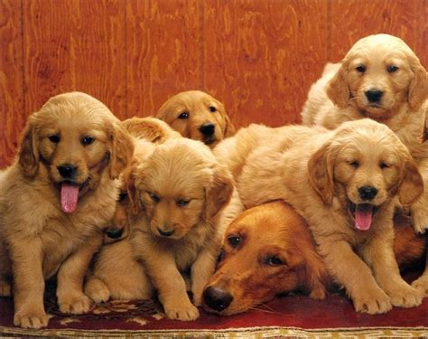 golden retriever puppies ebay golden retriever and puppies 10x8 in photo print mini poster ebay