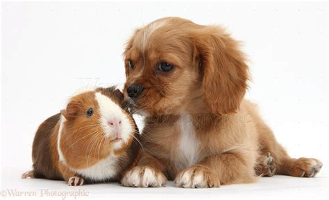 how to a pig pup pets ruby cavalier pup and guinea pig photo wp36073