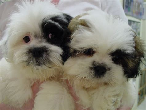 pomeranian and shih tzu puppies shih tzu pomeranian mix puppies picture