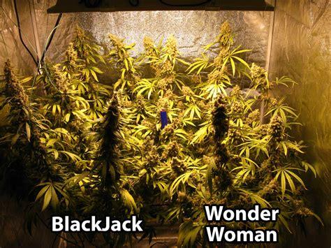 Verticle Gardening by 600w Hydroponic Grow Journal 23 09 Oz Harvest Grow