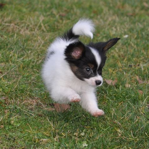 papillon puppy road s end papillons 7 week papillon puppies