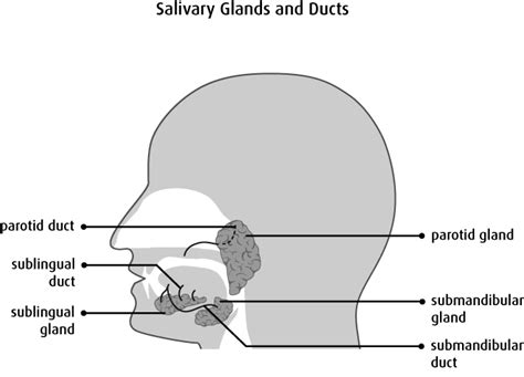 glands of the diagram diagram of salivary glands images