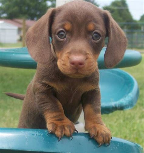 how many sets of do puppies get 102 best images about dachshund my baby lula on weenie dogs