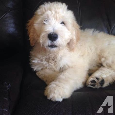 goldendoodle puppies for sale in michigan adorable goldendoodle puppies for sale in martin michigan classified