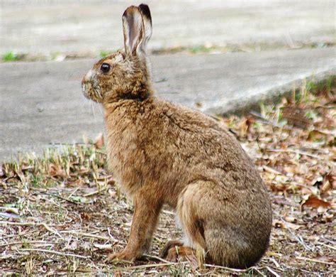 Rabbit L japanese hare