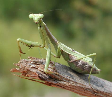 Praying Mantis L by Digitalinsectcollection Praying Mantis