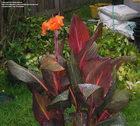 plantfiles pictures canna lily tropicanna canna