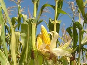 pada saat cuaca panas daun jagung menggulung dengan tujuan sahabat belajar sd