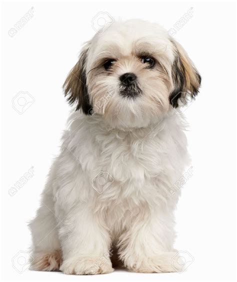 and white shih tzu white shih tzu puppy puppies puppy