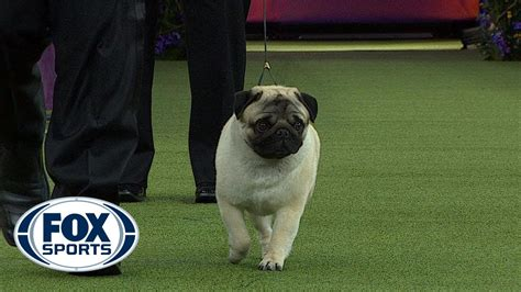westminster show 2018 sports biggie the pug wins the westminster show 2018 fox sports