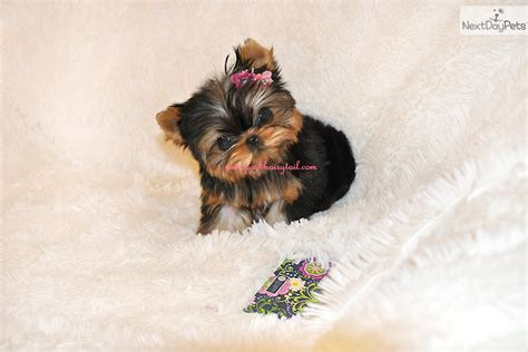 yorkies for sale los angeles baby doll terriers for sale in los angeles breeds picture