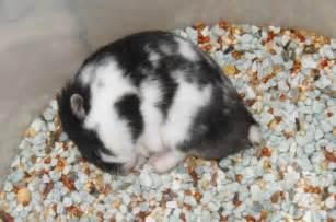 Hamster Syrian Hitam hobby pet mengapa hamster spesiale pojokane indranesta