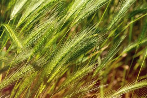 Plant Awns by Foxtail Safety Tips For Cats Information On The Dangers