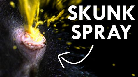 skunk spray skunks spraying www pixshark images galleries with a bite