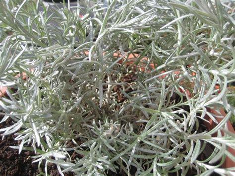 pianta di liquirizia in vaso elicriso liquirizia aromatiche elicriso liquirizia arbusto