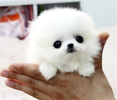 pictures of baby pomeranians the cutest pomeranian pictures