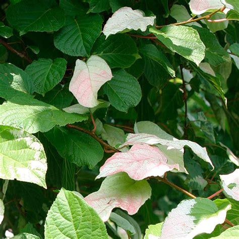 best vines earphones problems variegated kiwi vine finegardening