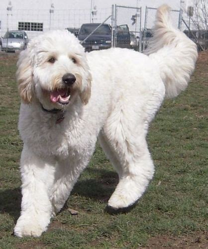 mastidoodle puppies for sale mastiffoodle puppies breeds picture
