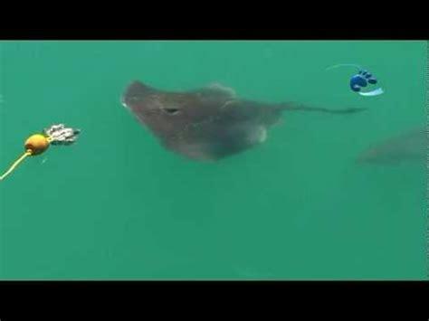 stingray boats vs stingray vs great white shark to grab the bait first
