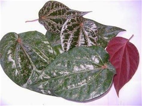 Herborist Daun Sirih Pink 200ml 17 best images about manfaat bua2an tumbuhan tanaman on glow itu and