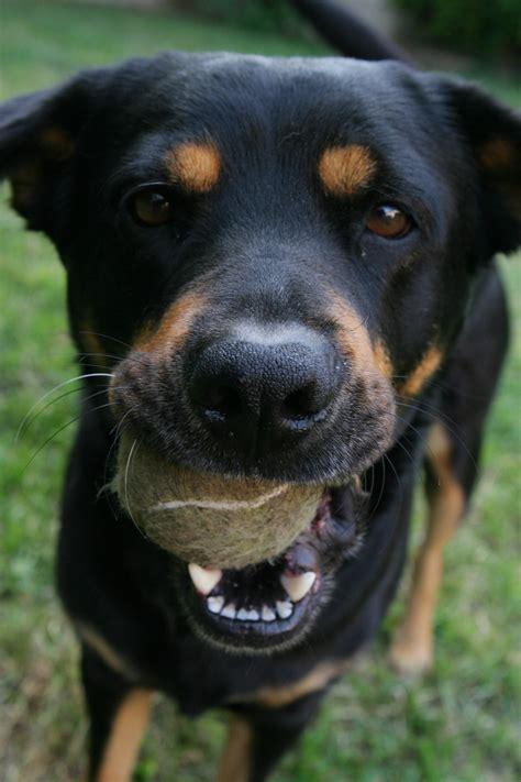 Gamis Amio Black Brownie S fotos gratis juego jugar perro animal canino mascota jugando amigo pelota vertebrado