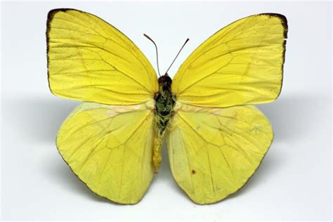 Home Decoration Images by Pieridae Phoebis Trite Linneo 1758 Darwin Ciencias