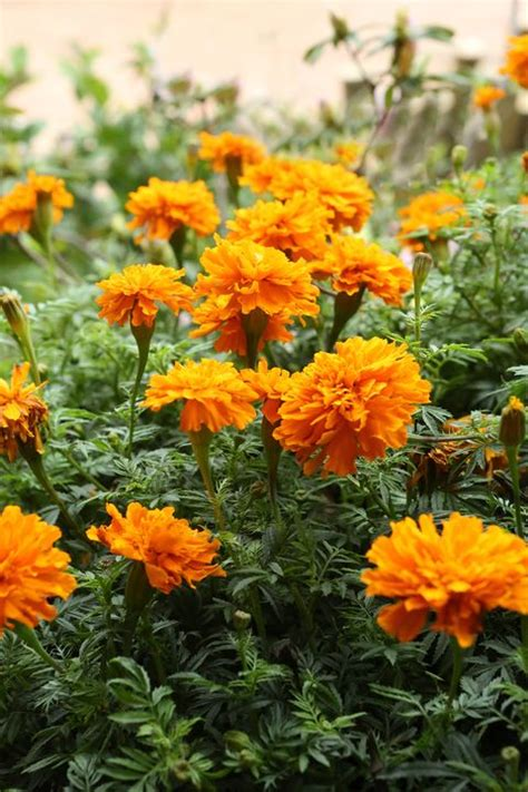 annual flowers annual flowers list