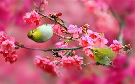 wallpaper bunga sakura bergerak hewan lucu 2016 animasi bergerak bunga sakura berguguran