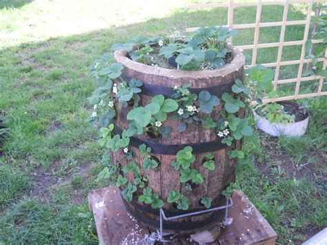 Strawberry Barrel Planter by Strawberry Barrel Green Thumb