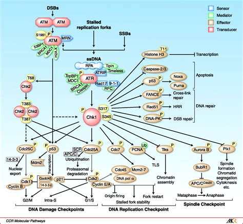 new insights into checkpoint kinase 1 in the dna damage