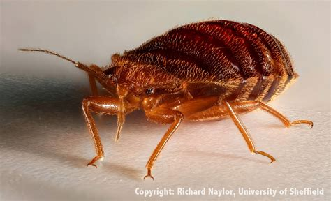 bed bugs heat fox reporting super germ detected in bed bugs heat bed