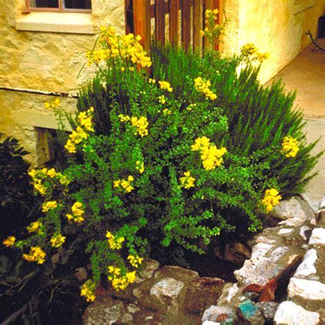 Flowers Blooming chihuahuan desert plants senna wislizenii